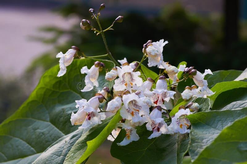 Surmiów bignonioides kwitną, także znają jako południowy surmia zdjęcie royalty free