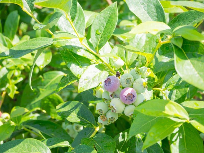 Surowa czarna jagoda na drzewie obraz stock