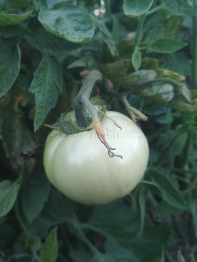 Surowa pomidorowa natury tapeta zdjęcia royalty free