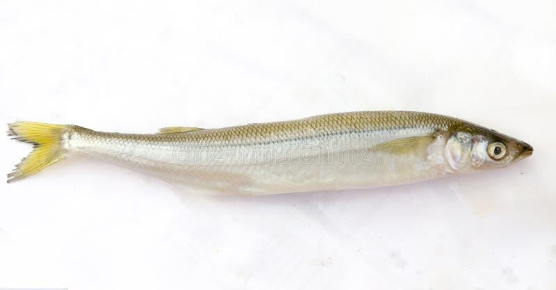 Surowa ryba wytapia obraz royalty free
