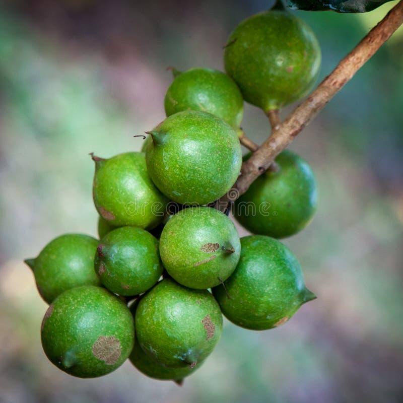 Surowe zielone macadamia dokrętki na drzewie fotografia royalty free