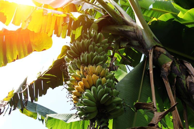 Surowi zieleni banany w ogródzie z urlopu tłem zdjęcie royalty free