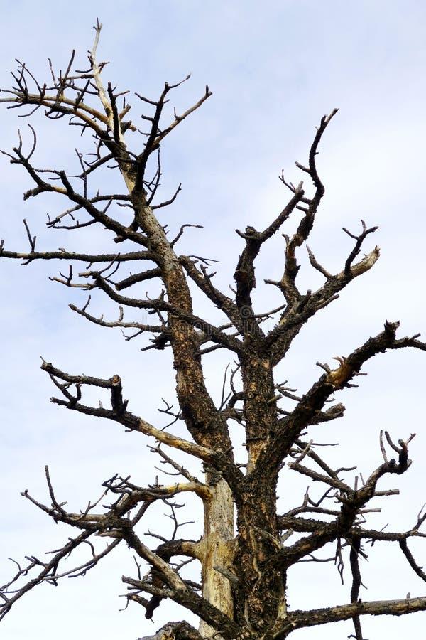 Surowy drzewo przeciw niebu obraz royalty free