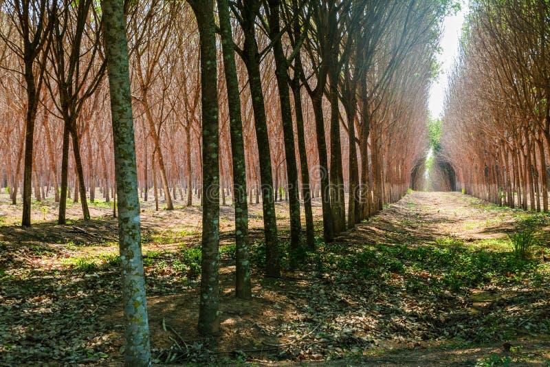 Surowy gumowego drzewa las obraz royalty free