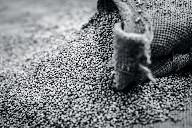 Surowy organicznie Pennisetum glaucum, Perełkowej jagły przybycie z gunny torby Pojęcie głód zdjęcie royalty free