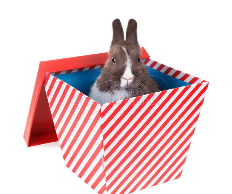 Surprise - Baby Dutch dwarf rabbit in a gift box. Isolated on w. Hite background royalty free stock images
