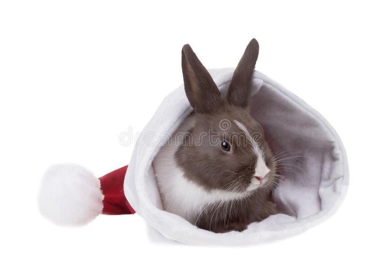 Surprise - Baby Dutch dwarf rabbit in a gift box. Isolated on w. Hite background royalty free stock image