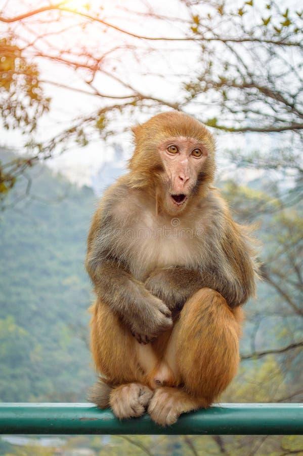 Surprise monkey portrait. In mountain