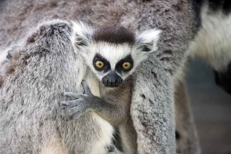 Surprised Baby Lemur. Baby Ringtailed Lemur with a shocked expression on his face stock images