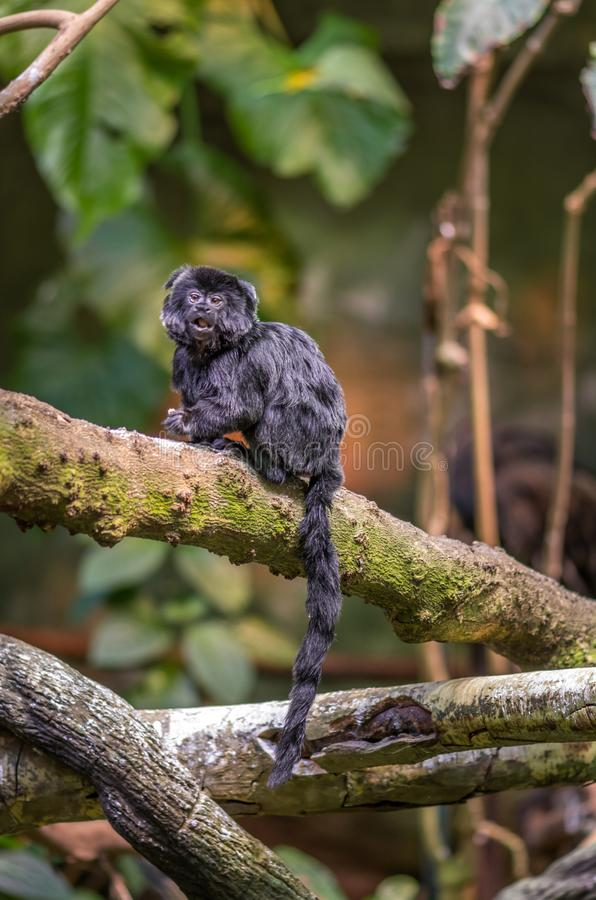 Surprised Black Goeldi Tiny Monkey Looking Straitgh at You royalty free stock photo