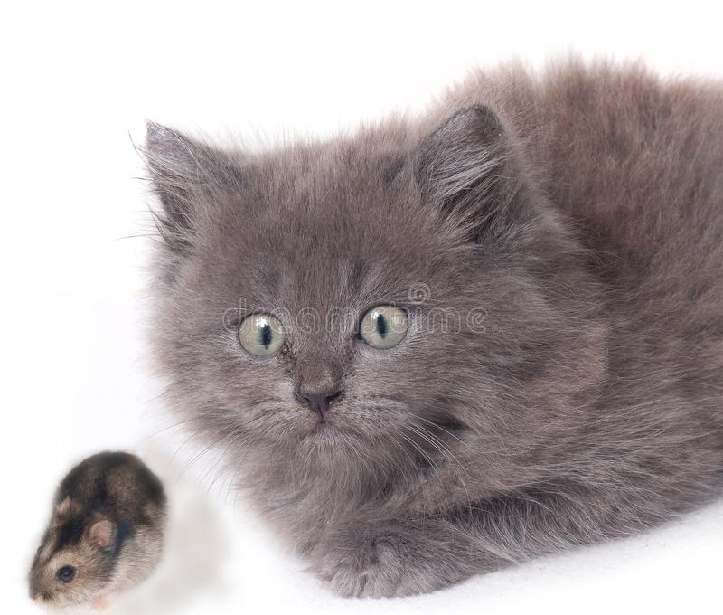 surprised cat kitten with mouse hamster royalty free stock photo