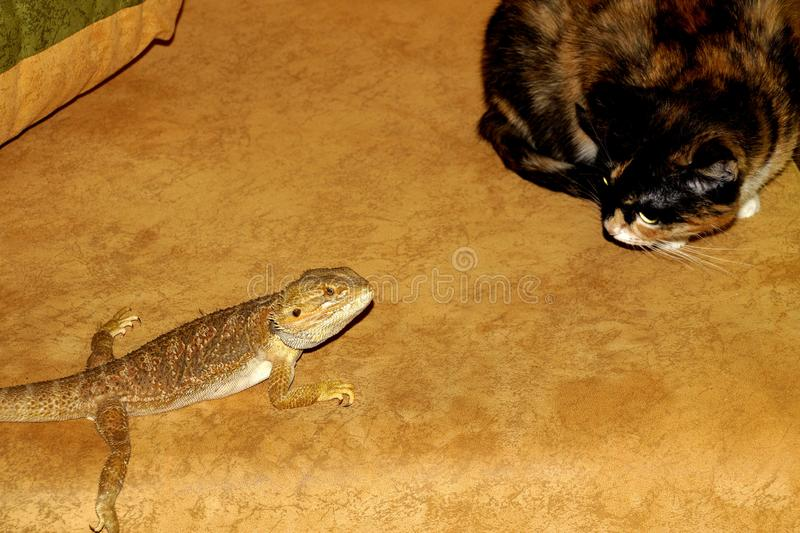 Surprised the cat and the little bearded Agama stock photos