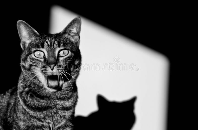 Surprised cat. With shadow black and white stock image