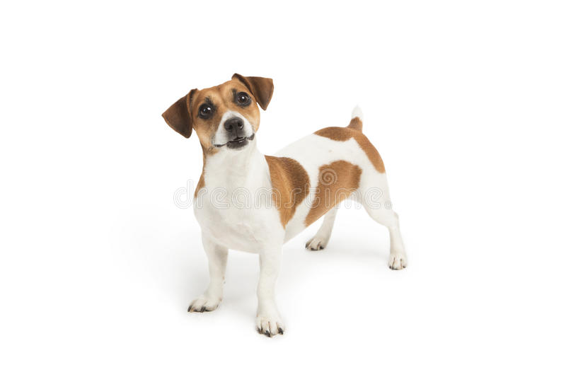Surprised Jack Russell Terrier dog looking up at the camera. White background. Studio shot. Cute puppy royalty free stock photo