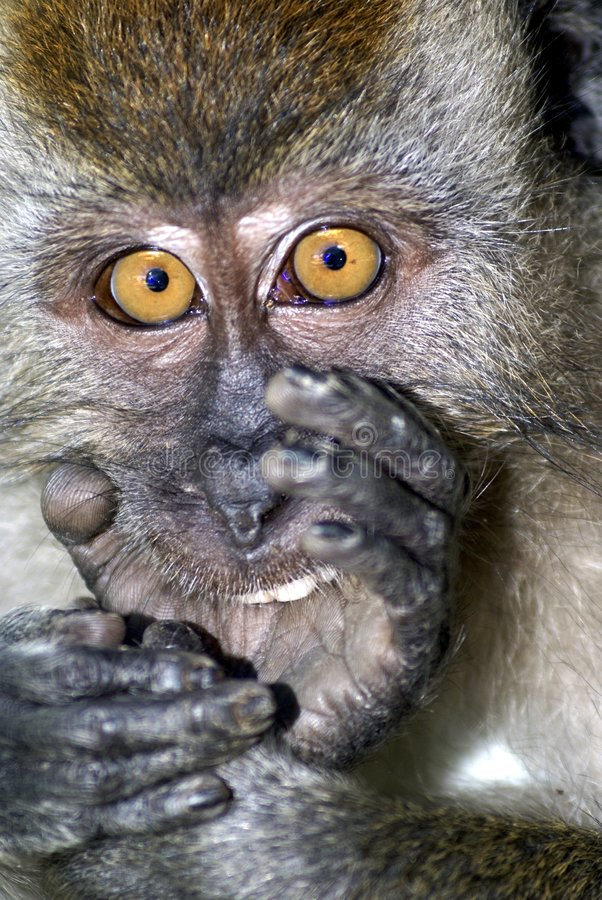 Download Surprised Monkey Expression Stock Image - Image: 3144619
