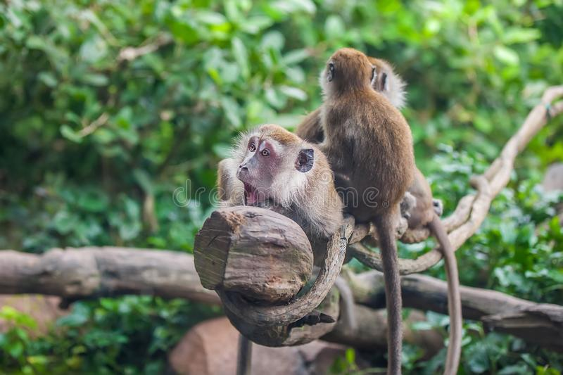 Surprised monkey with 2 monkeys royalty free stock photography
