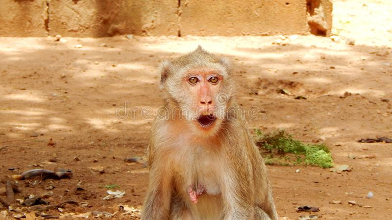 Surprised monkey opened her mouth stock photos