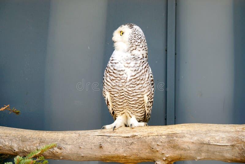 Surprised polar white owl royalty free stock image