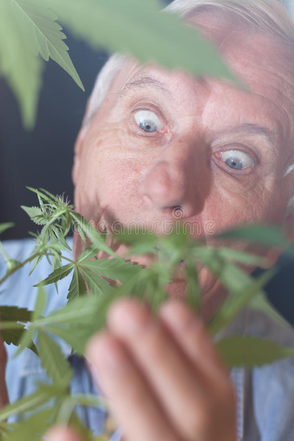 Surprised senior man with Cannabis plant stock photo