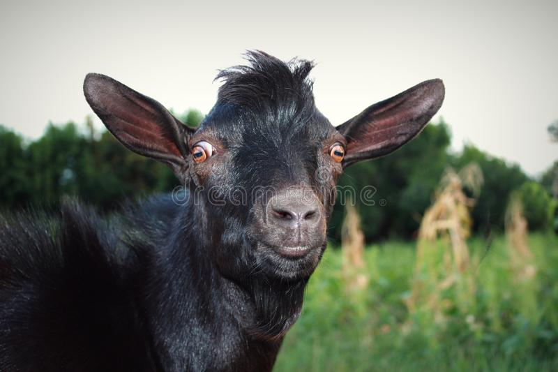 Surprised and Serious Black Goat. Funny Goggled Brown Eyes. Stare wide-eyed. Pop-Eyed. Surprised and serious black goat on the green grass. Stare wide-eyed royalty free stock photography