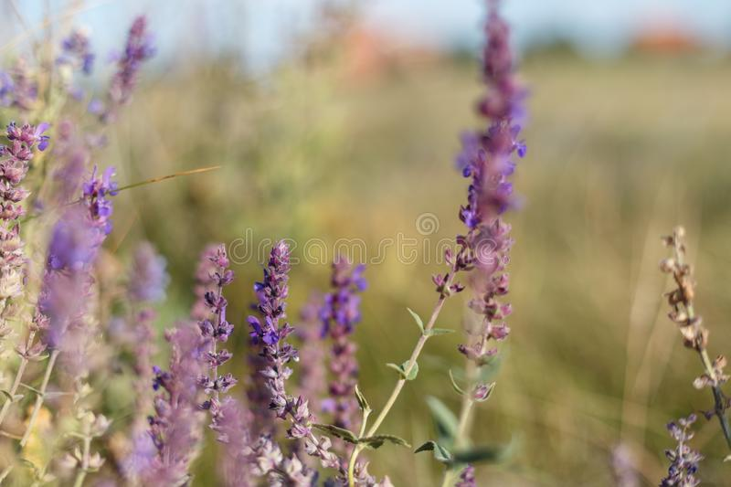 Surprisingly beautiful colorful floral background. Salvia flowers in rays of summer sunlight in outdoors on nature macro, soft foc. Us. Atmospheric photo, gentle royalty free stock photo