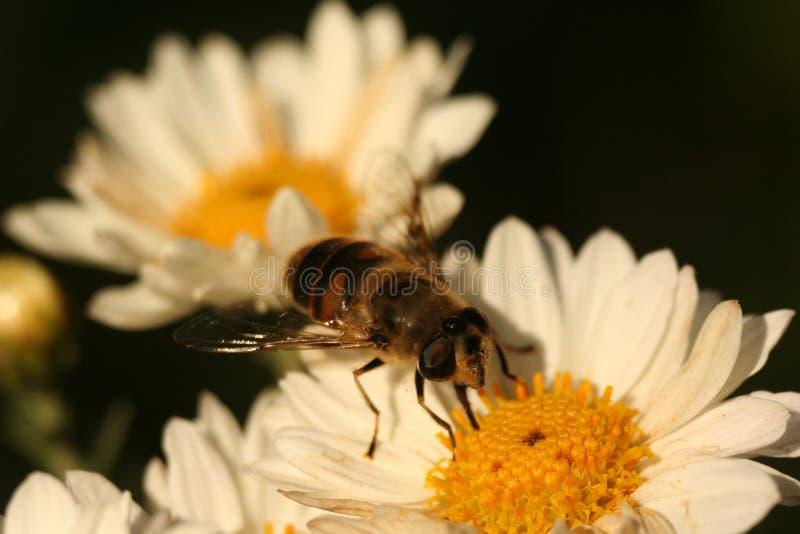 Surrbi på blommakrysantemumet arkivbild