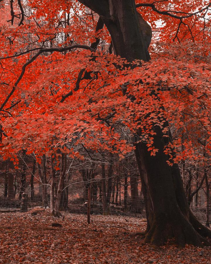 Surreal alternate red color vibrant forest woodland Autumn Fall landscape. Surreal alternate color vibrant forest woodland Autumn Fall landscape stock photos