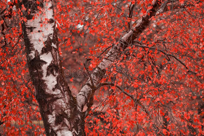 Surreal alternate red color vibrant forest woodland Autumn Fall landscape. Surreal alternate color vibrant forest woodland Autumn Fall landscape royalty free stock photography