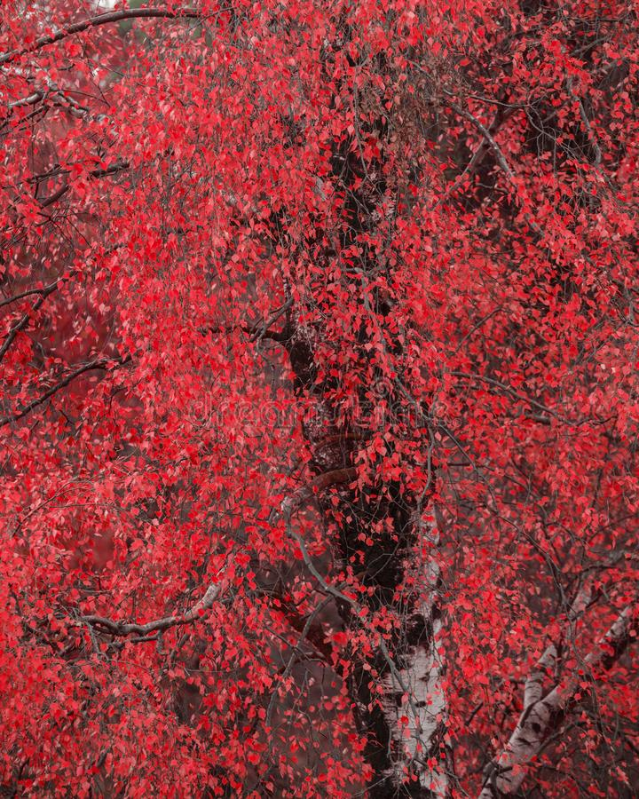 Surreal alternate red color vibrant forest woodland Autumn Fall landscape. Surreal alternate color vibrant forest woodland Autumn Fall landscape royalty free stock photos