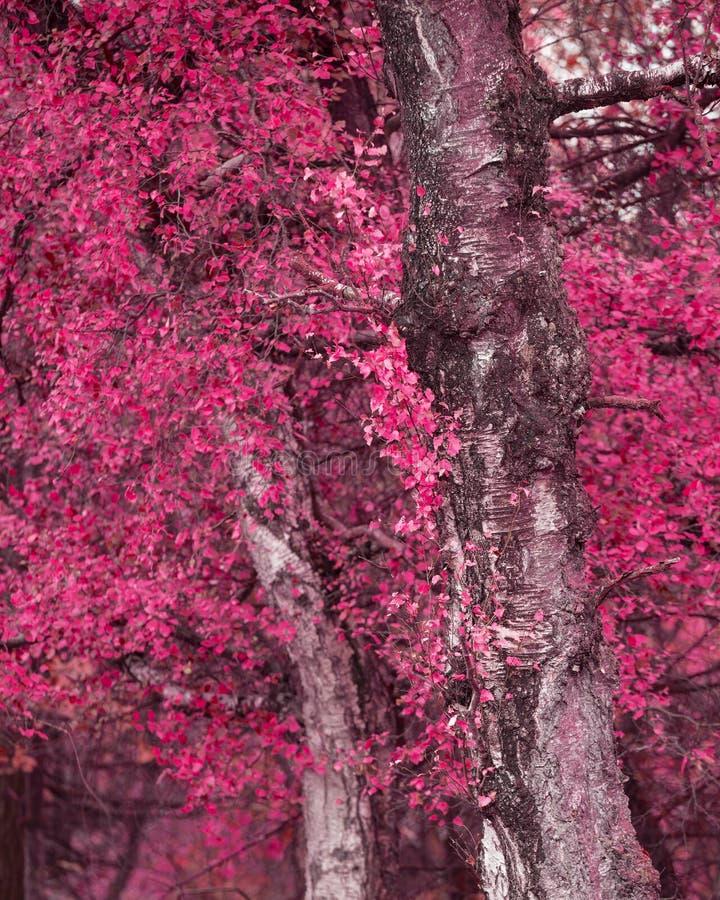 Surreal alternate red color vibrant forest woodland Autumn Fall landscape. Surreal alternate color vibrant forest woodland Autumn Fall landscape stock images