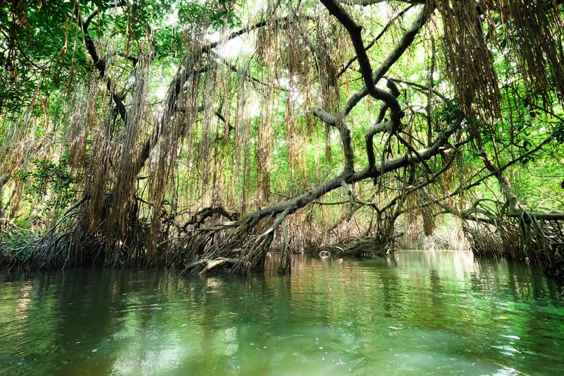 Tropical river and mangrove rain forest lit by sun. stock photos