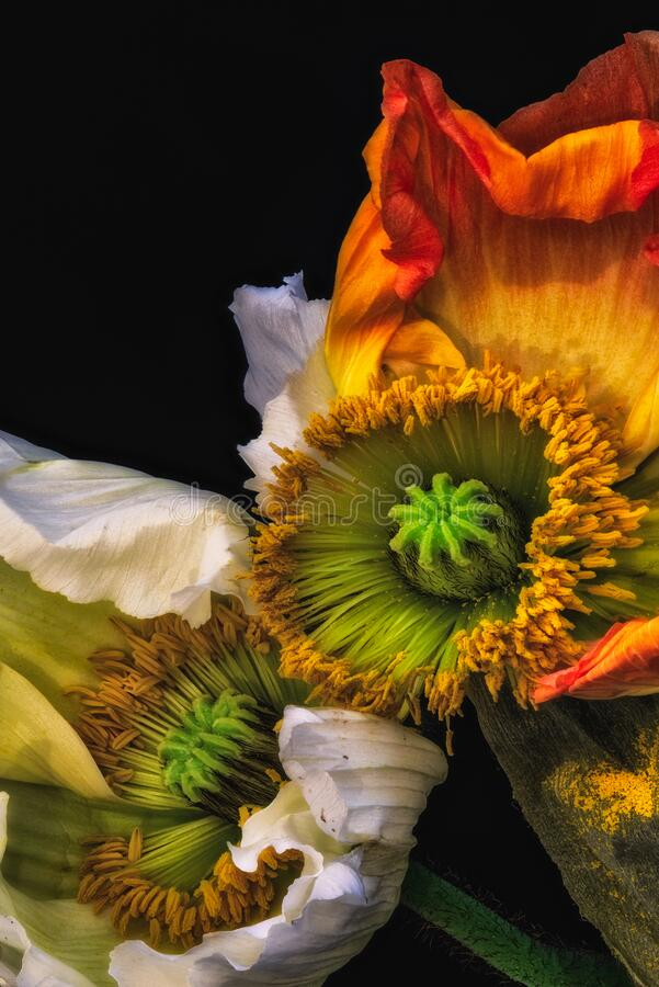 Free Surreal Color Macro Flower Portrait Of A Pair Of Fading Poppy Royalty Free Stock Photo - 186503655