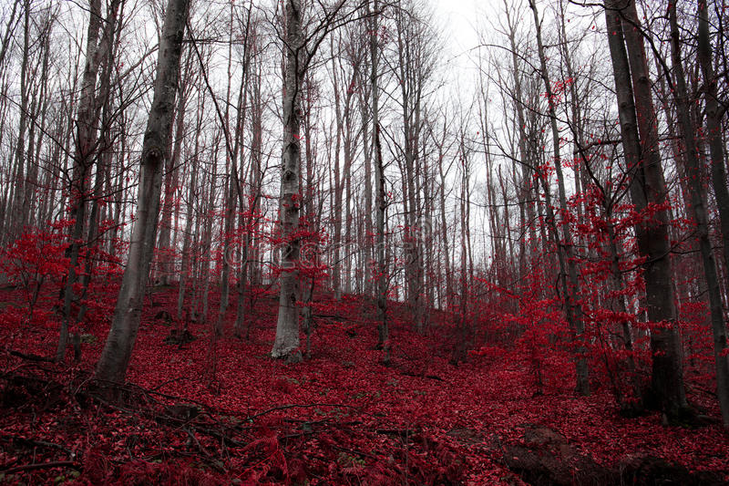 A surreal red forest in Serbia royalty free stock photos
