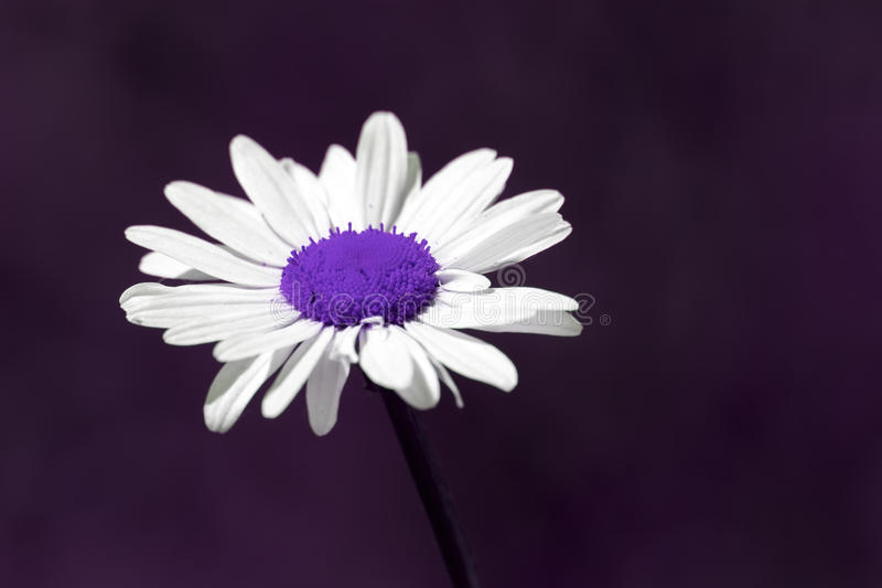 Surreal summer nature image of a purple daisy flower with copy s stock photo