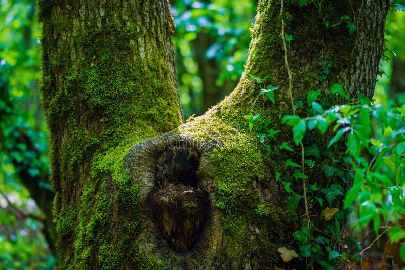 Surreal van de griezelige openluchtbeeld de fantasiekleur van de fairytale fijne kunst van oude die boom, met mos, gebladerte, ma stock afbeeldingen