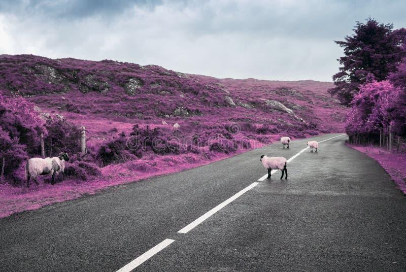 Surreale purpurrote Schafe, die auf Straße in Irland weiden lassen stockfotografie