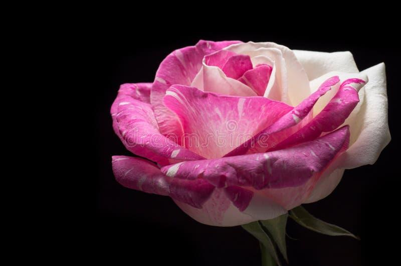 Surreales dunkles Rosarosen-Blumenmakro lokalisiert auf schwarzem Hintergrund lizenzfreies stockbild