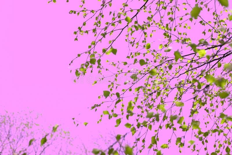 Surrealism Beautiful birch tree branch with green leaves in the sky pink. Nature environment royalty free stock photo