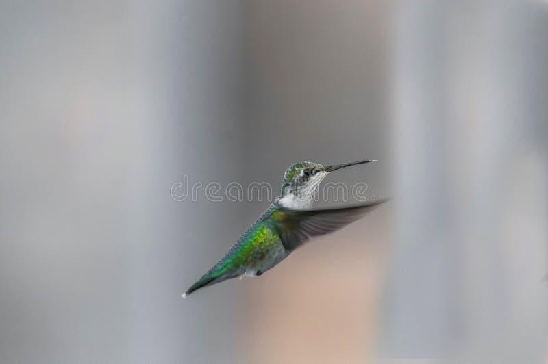 Surrfåglar (Archilochuscolubris) arkivfoto