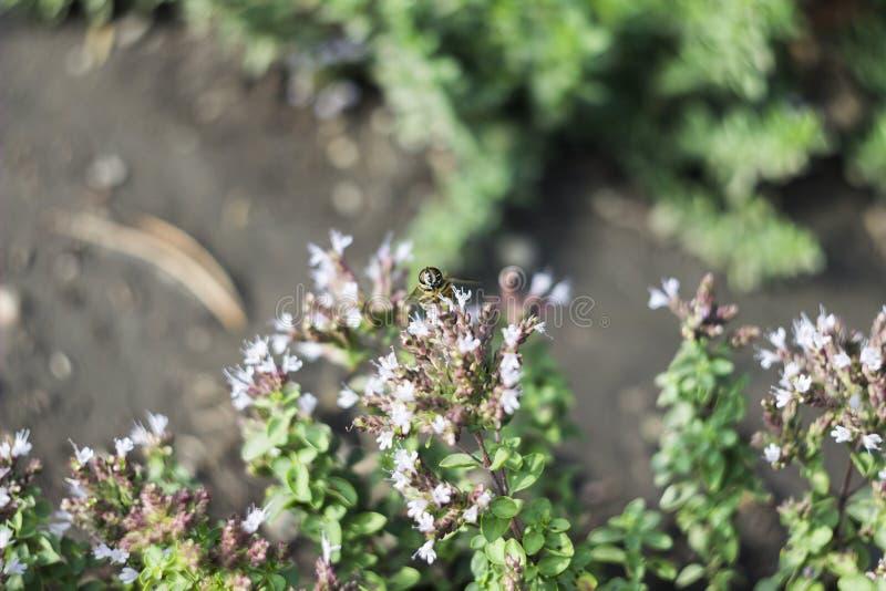 Surrfluga & x28; Eristalis tenax& x29; på blomman fotografering för bildbyråer