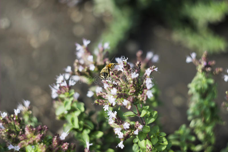 Surrfluga & x28; Eristalis tenax& x29; på blomman arkivbilder