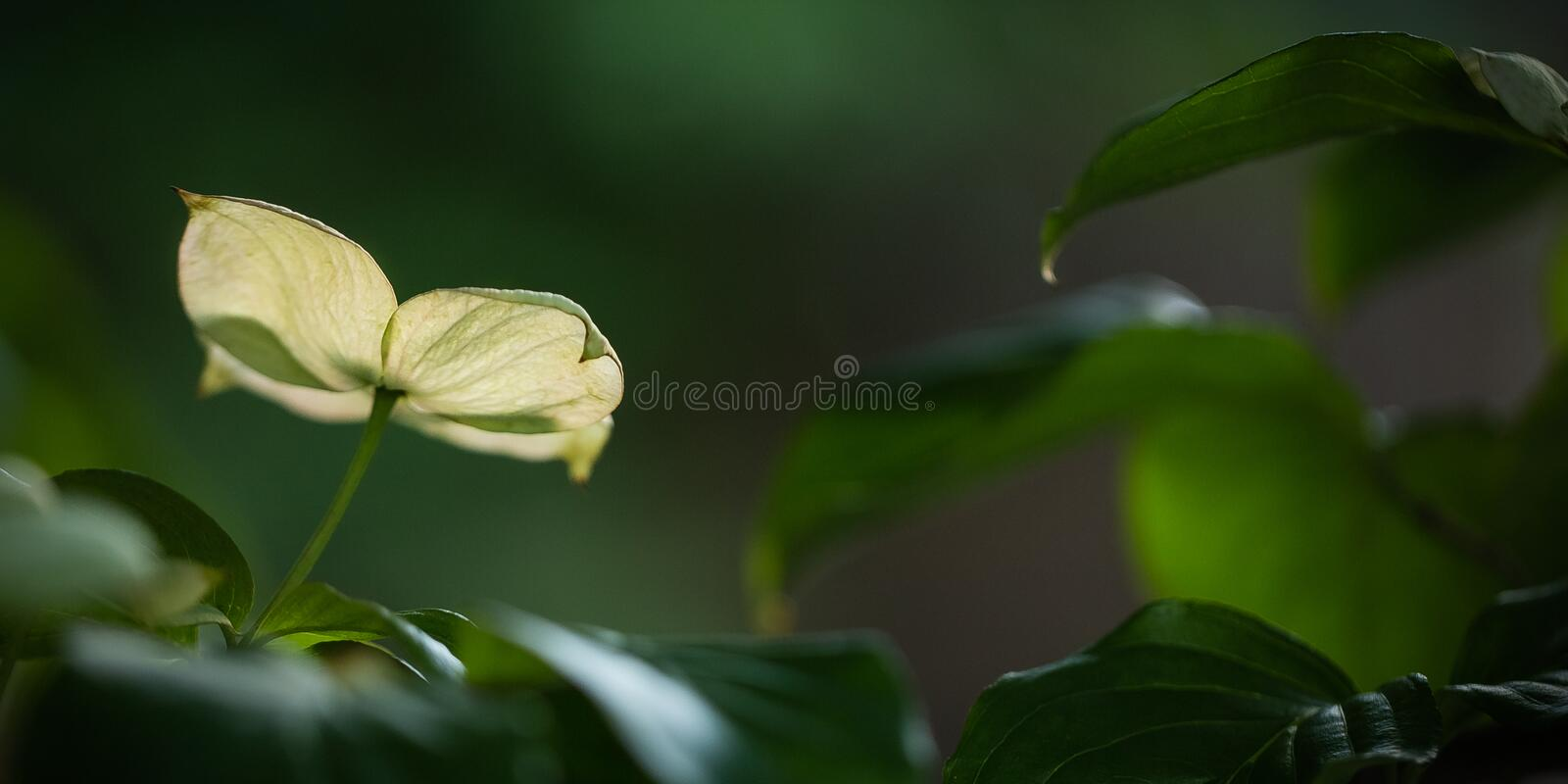 A single creamy white Dogwood blossom glows among green leaves. Surrounded by dark green leaves, a single dogwood blossom glows a beautiful creamy-white royalty free stock photo