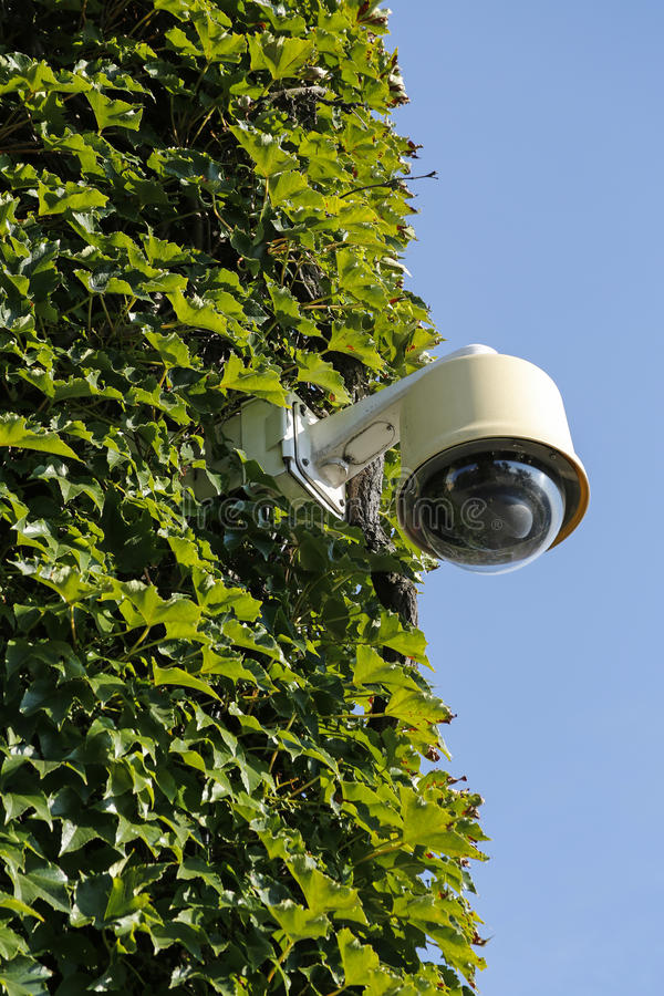 Surveillance camera. On wall covered with ivy stock photo