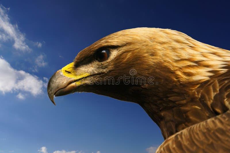 Surveillance d'Eagle photographie stock libre de droits