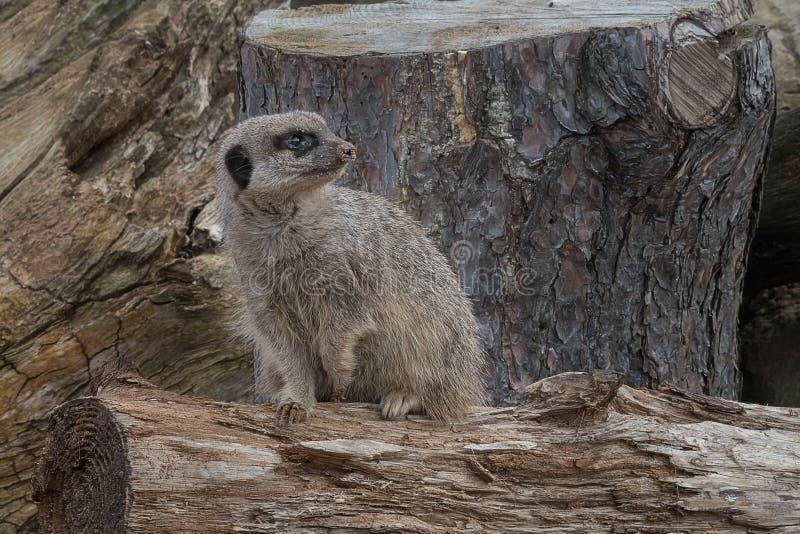 Surveillance vigilante de meerkat photographie stock libre de droits
