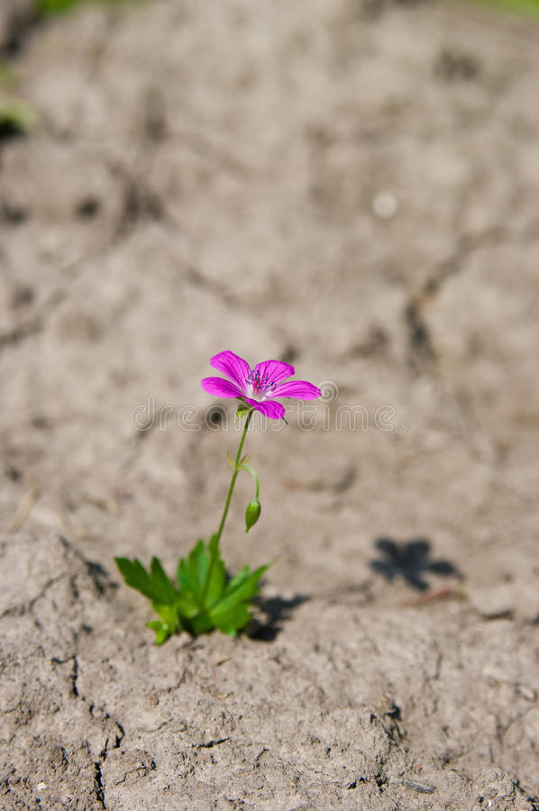 Survival. Young growing flower in a desert sand stock images