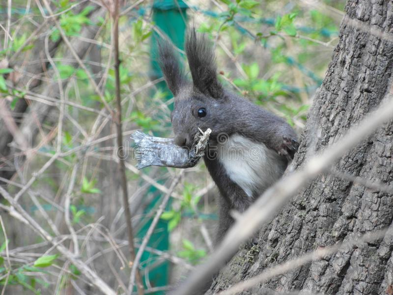 Survival of the fittest. The squirrel eats dried fish.The Saerhu scenic area, Fushun, Liaoning, China royalty free stock images