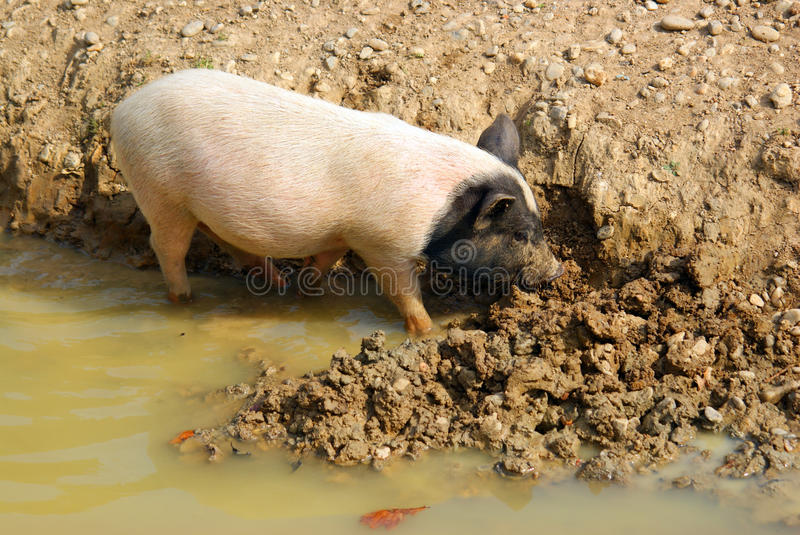 Survival: pig in mud royalty free stock photo
