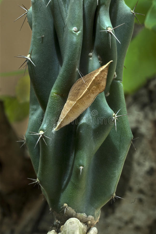 Survival- Pupa of butterfly- Migration. Survival technique of butterfly larvae migration to a cactus plant for pupating other than host plant to avoid from stock photo