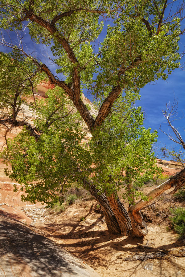 The Surviver. Lone Cottonwood tree grows in a wash in the Zions National Park in Utah USA what a surviver royalty free stock photography